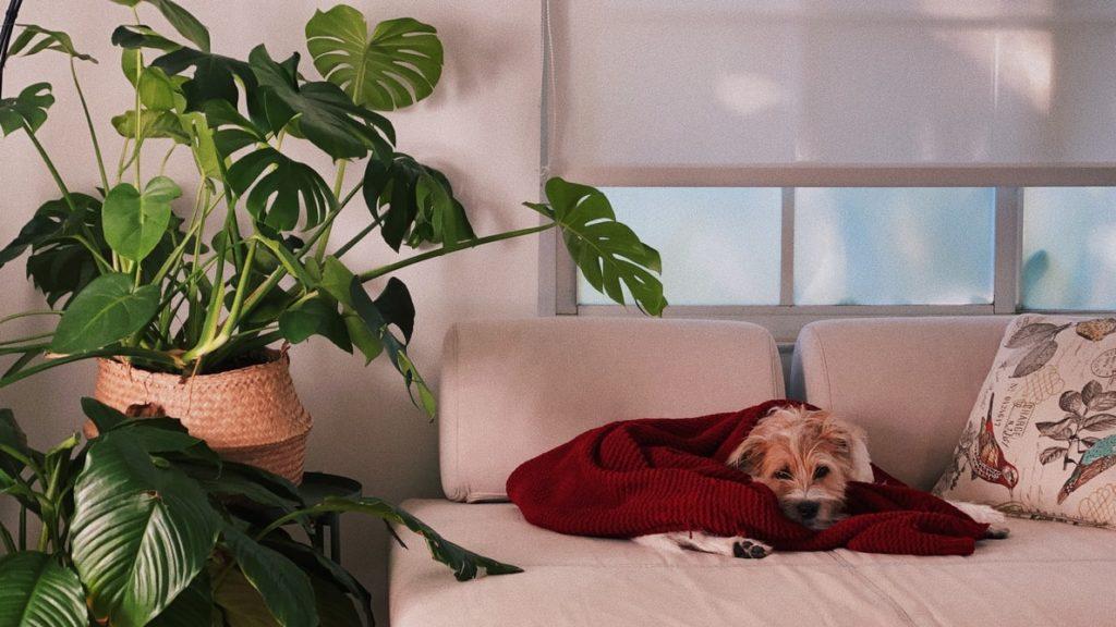 Szobarészlet, az ablak előtt egy kanapé, rajta egy barna szálkásszőrű zsemleszínű kiskutya. Mellette egy dézsában egy nagy filodendron. Minden fehér, csak a kutya és a növények nem.