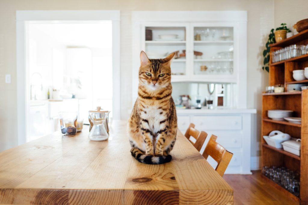 Egy cica büszkén trónol egy étkezőasztalon